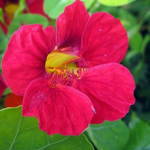 cherry rose nasturtium 2