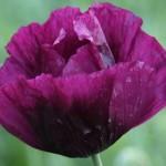 laurens grape poppy
